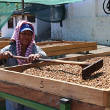 Honey processing coffee in El Salvador
